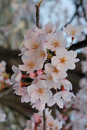 Sakura of Fukushima-e (福島江のサクラ)